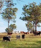 stock photo of zebu  - australian herd of beef cattle on australian ranch - JPG