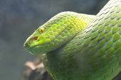stock photo of jungle snake  - Green snake perched on a branch waiting for prey - JPG