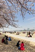 SEOUL, KOREA-APRIL 19: The ninth Yeouido Spring Flower Festival is being held in Yeouiseo-ro near th