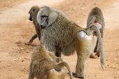 stock photo of anubis  - A group of olive baboons  - JPG