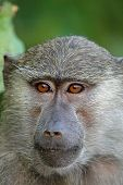 pic of anubis  - Portrait of a young olive baboon  - JPG