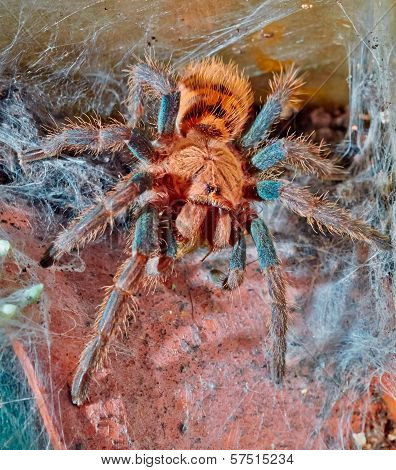 Portrait Of Venezuelan Tarantula Spider Sits On The Web Macro Focus On The Eyes