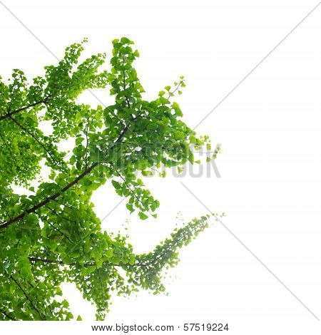 Ginkgo Biloba tree and leaves