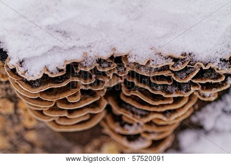 Tinder Fungus On The Trunk