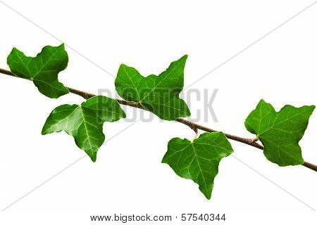 Branch Of Ivy