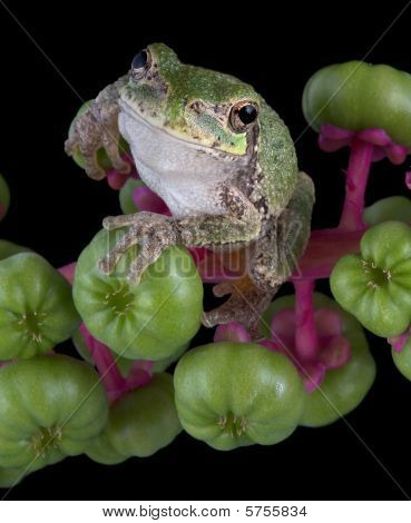 Gray Tree Frog On Pokeweed