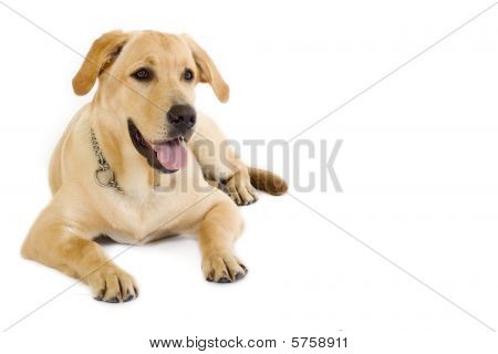 Puppy Labrador Retriever Cream - Copyspace