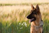 stock photo of shepherd dog  - German shepherd dog playing in a firled of wheat - JPG