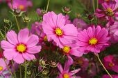 picture of cosmos flowers  - the beautiful cosmos flower in the field