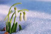 pic of ascending  - The first snowdrops ascended from under the snow - JPG