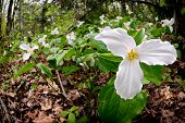 stock photo of trillium  - White Trilliums growing on the forest floor - JPG