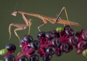 foto of pokeweed  - A male mantis is walking on a branch of pokeweed - JPG