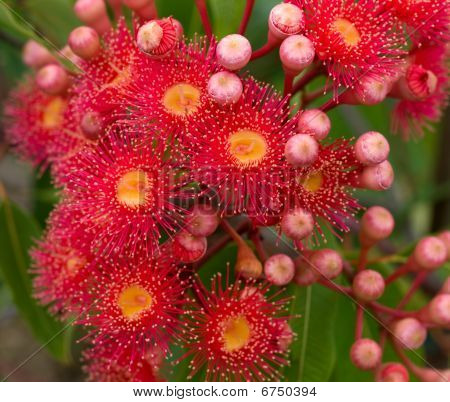 Red Flowers Gum Tree Eucalyptus Phytocarpa Hybrid Australian Native