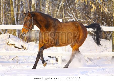 Horse In Winter Galloping