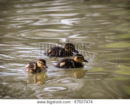 Three Little Mallard Ducklings In The Water