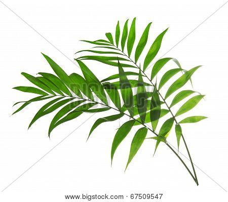 Green leaves of palm tree Howea