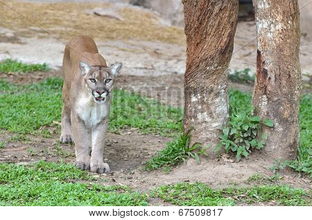 Mountain Lion In Captive Environment