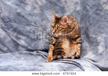 Bengal Cat Ready To Attack