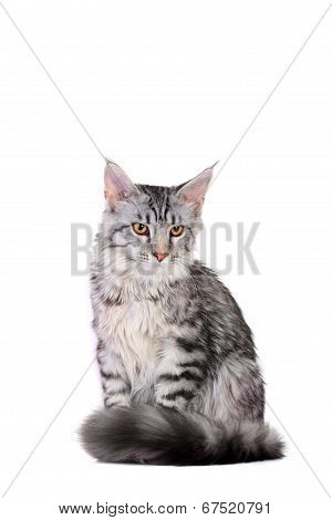 Silver tabby maine coon kitten, 5 month