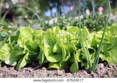 Eco butterhead lettuce