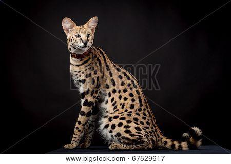 Beautiful serval, Leptailurus serval