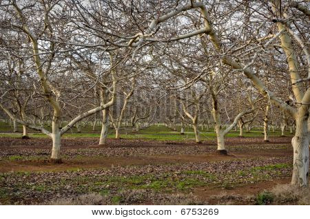 Mandel Orchard im winter