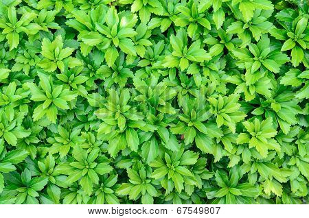 Close-up Of Pachysandra Terminalis - Green Nature Background, Texture