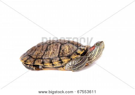 Freshwater red-eared turtle on white