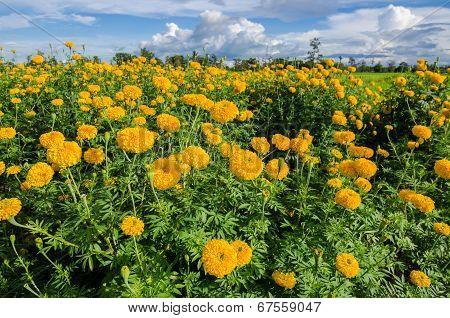 Marigolds Or Tagetes Erecta Flower