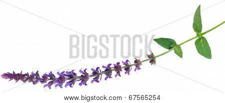 Perennial Salvia Flower