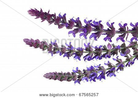 Meadow Sage Flowers