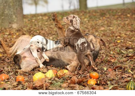 Louisiana Catahoula Dog Playing With Adorable Puppies In Autumn