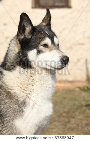 Gorgeous Alaskan Malamute In The Garden