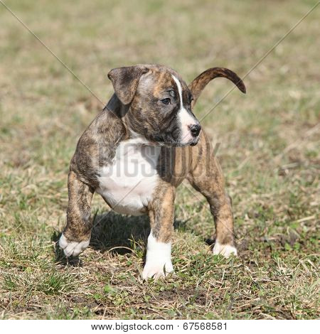 Amazing American Staffordshire Terrier Puppy Moving