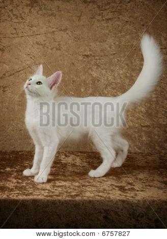 Turkish Angora Kitten