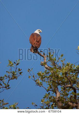 Red-backed Sea-eagle