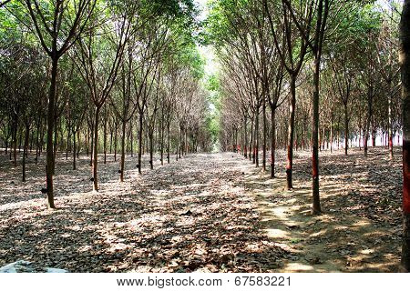 Para plantation