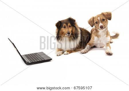 Shetland sheepdog and mixed breed dog sitting near laptop over white background