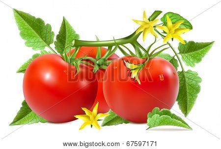 Red ripe tomatoes with water drops, leaves and tomato blossoms. Vector illustration.