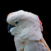 image of cockatoos  - Beautiful pale pink Cockatoo Moluccan or Seram Cockatoo  - JPG