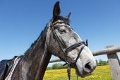image of dapple-grey  - A gray tamed horse with dark eyes - JPG