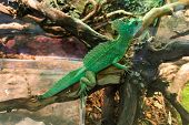 stock photo of terrarium  - Basiliscus basiliscus - JPG