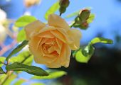 pic of buff  - Yellow Roses are symbolic for friendship - JPG