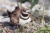 stock photo of killdeer  - Mother Killdeer guarding her nest of eggs - JPG