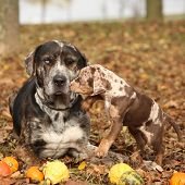pic of catahoula  - Amazing Louisiana Catahoula dog with adorable puppy in autumn - JPG
