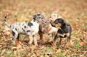 foto of catahoula  - Adorable Louisiana Catahoula puppies playing together in autumn