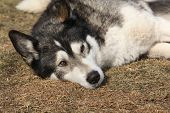 image of malamute  - Gorgeous Alaskan Malamute in the garden in spring - JPG