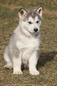 picture of malamute  - Puppy of Alaskan Malamute in springs garden - JPG