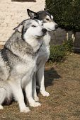 foto of malamute  - Gorgeous Alaskan Malamutes sitting together in the garden - JPG