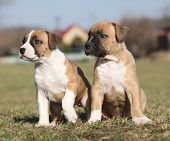 foto of american staffordshire terrier  - Two nice little puppies of American Staffordshire Terrier together in exterier